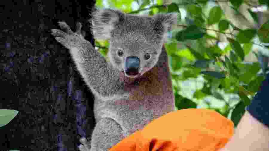Coalas regatados durante incêndios da Austrália retornam à floresta - Reprodução/Facebook