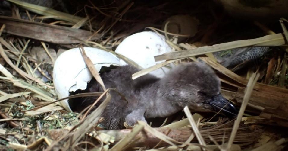 25.mai.2016 - Um aquário japonês divulgou imagens de filhote de pinguim-de-humboldt reproduzido por inseminação artificial, na província de Yamaguchi. Essa é a segunda tentativa bem sucedida de reprodução artificial de pinguins no mundo e a primeira para uma espécie em risco de extinção
