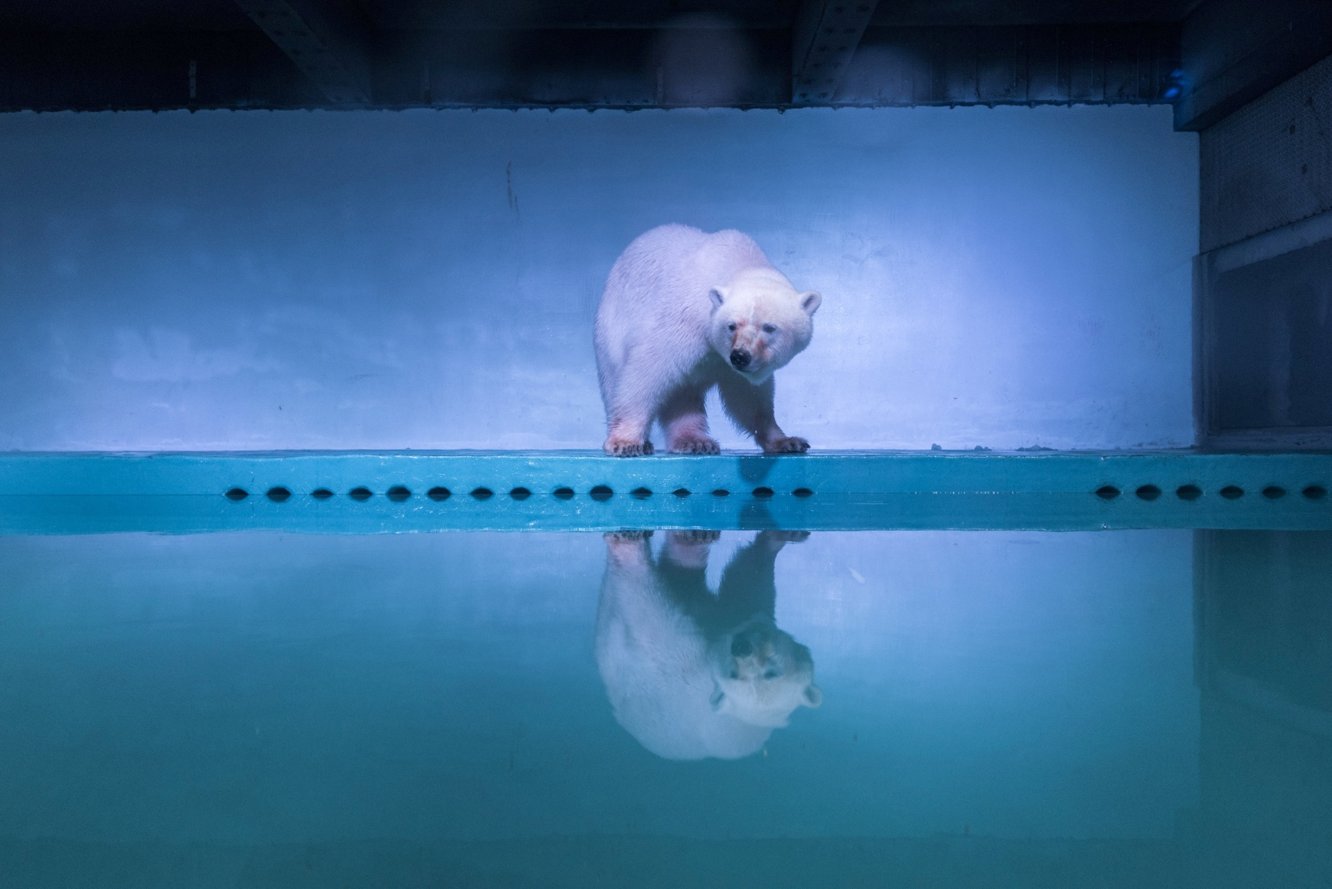 28.jul.2016 - Mais de 500 mil ativistas assinaram petição pelo fechamento do aquário em um shopping center onde vive um urso-polar na China. O animal, chamado Pizza, recebeu o apelido de