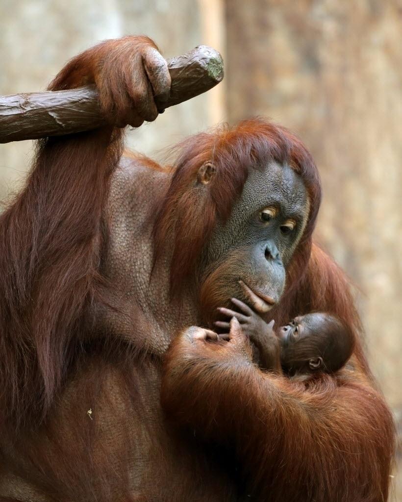 8.dez.2016 - Mamãe orangotango segura filhote de três dias no zoológico em Krefeld, Alemanha