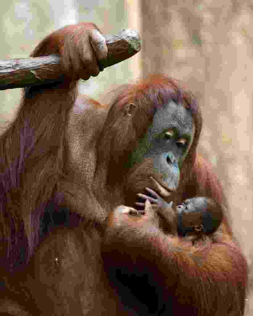 8.dez.2016 - Mamãe orangotango segura filhote de três dias no zoológico em Krefeld, Alemanha - undefined