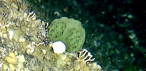 Esponja verde, descoberta nas águas do Pacífico no Alasca