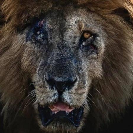 Scarface ficou famoso devido a sua cicatriz no rosto e vivia em uma reserva no Quênia - Divulgação/ Facebook