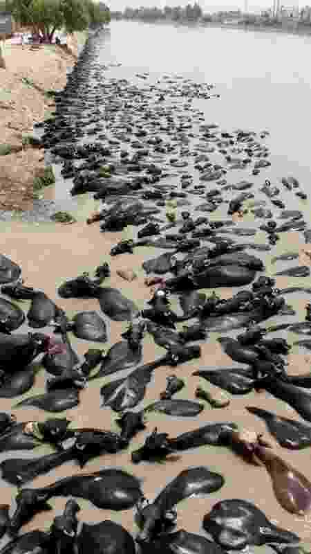 Vacas se refrescam em lago em meio a onda de calor no Paquistão; cientistas se dizem incapazes de prever eventos climáticos extremos com precisão no momento - EPA - EPA