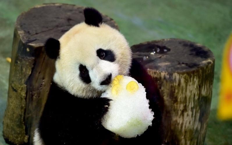 """2.jul.2016 - O urso panda Yuanzai """"comemora"""" seu aniversário de três anos no zoológico de Taipei, na China, neste sábado (2). A administração do zoológica organizou uma festa para comemorar a data e até preparou um bolo de aniversário para o animal"""