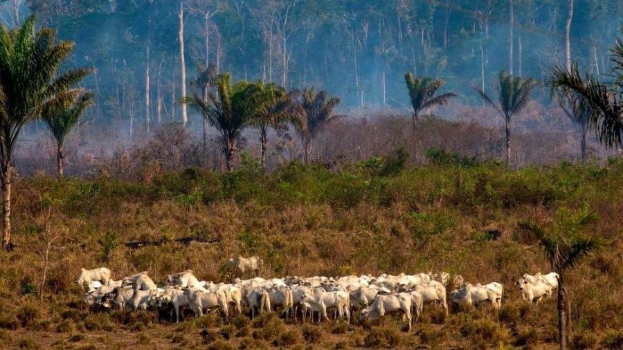 Várias áreas da Amazônia estão sendo afetadas pela pecuária  - Getty Images