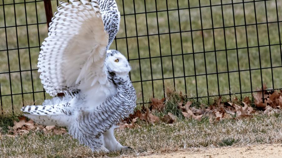 Coruja rara levantando as asas no campo de beisebol em que foi vista - Reprodução/Twitter/@WinoBradNY