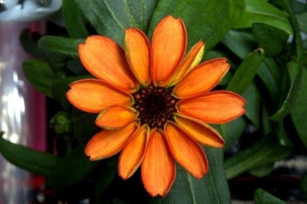 16.jan.2016 - A primeira flor cultivada no espaço é apresentada ao público