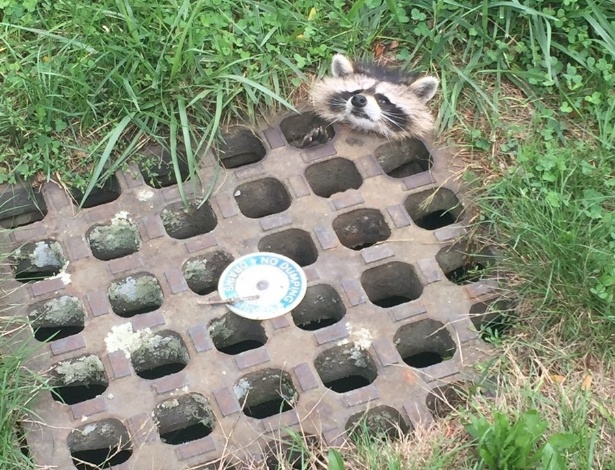 Este pequeno guaxinim conseguiu a proeza de ficar preso em um dreno de esgoto, em Northampton, nos EUA. Reparem a cara de desespero dele