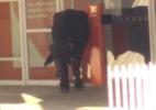 Búfalos invadem cidade de MG e ferem duas pessoas; animais são sacrificados - Reprodução