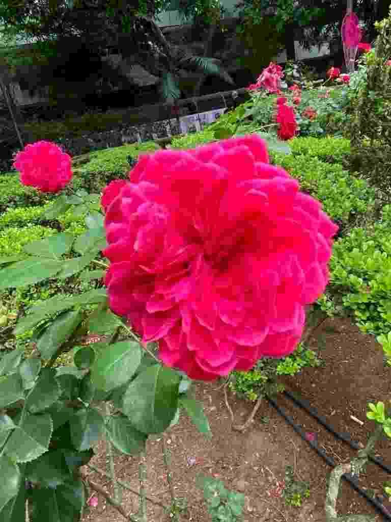 iPhone 11: destaque da rosa com luz natural - Tilt/UOL