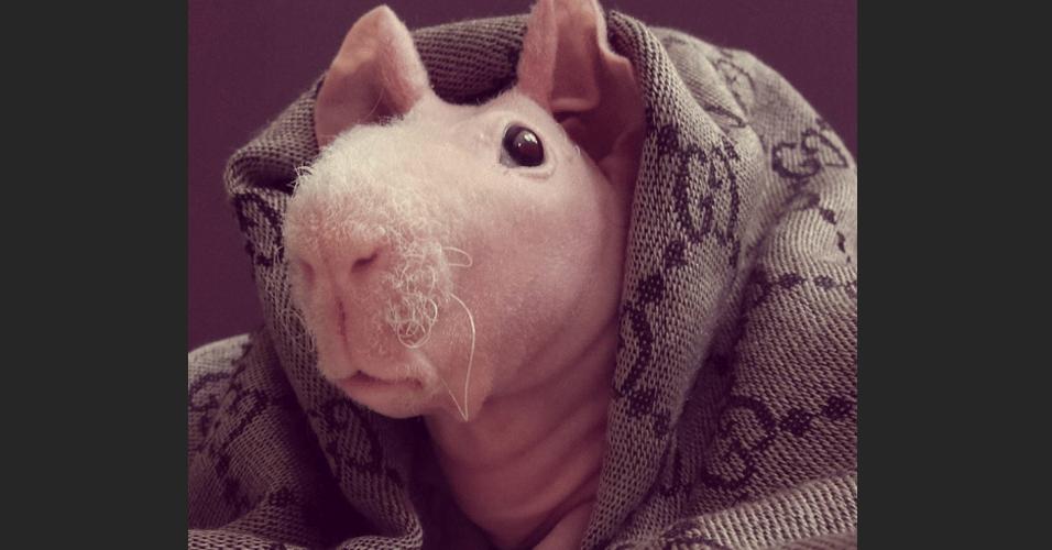 Porquinho-da-índia sem pelos