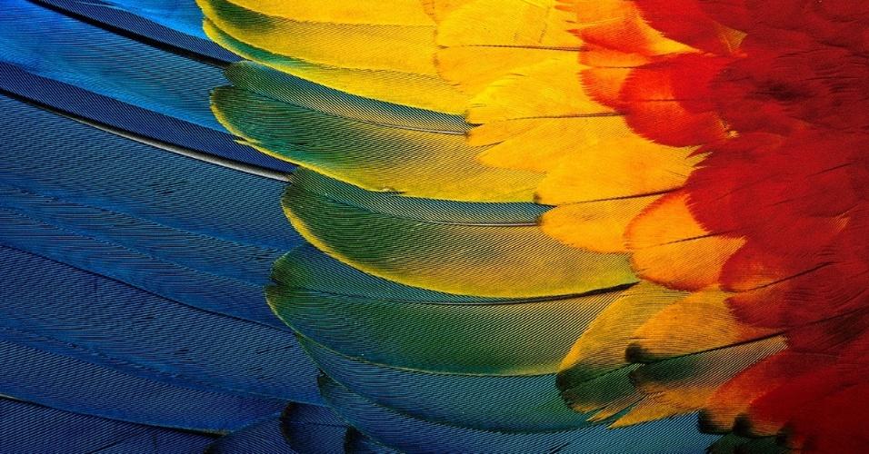 2.mai.2016 - Detalhe da asa multicolorida de uma araracanga no Parque Nacional Manu, Peru. A araracanga é o maior dos papagaios, com mais de 1,2 m de envergadura