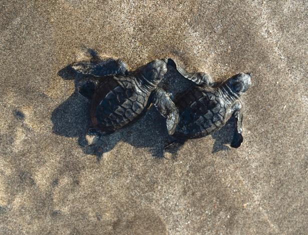Filhotes de tartarugas-marinhas avançam em direção ao oceano na praia de Kuta, em Bali