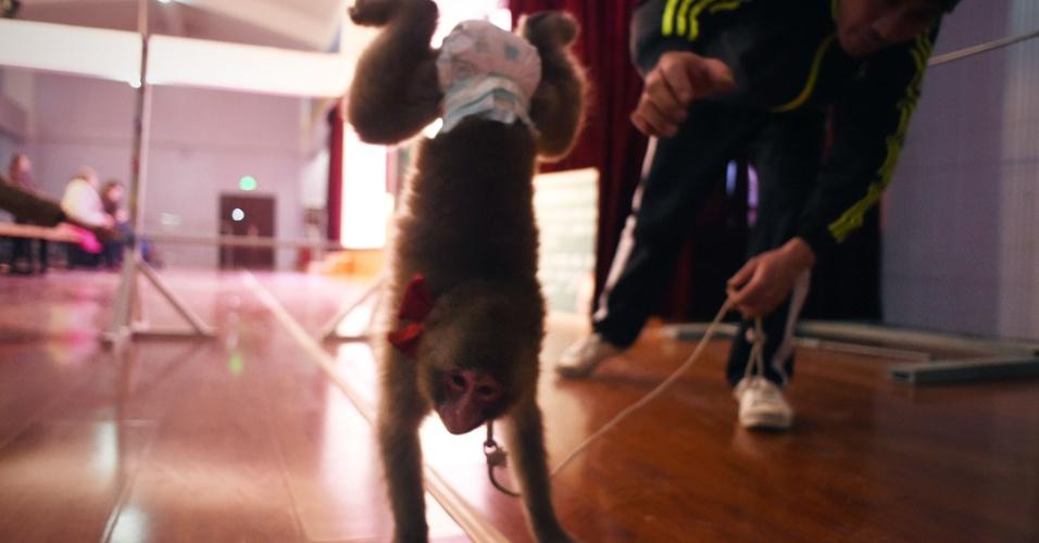 Macaco do zoológico de Dongying treina para apresentações que comemoram o Ano-Novo chinês
