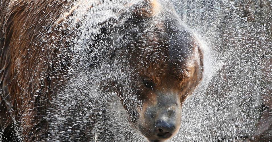 14.jun.2016 - Buyan, um urso marrom siberiano, sacode água do pelo enquanto se refresca em um dia quente de verão, com a temperatura perto dos 33°C, no zoológico de Royev Ruchey, em Krasnoyarsk, Sibéria (Rússia)