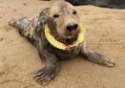 Após seis meses de tentativas, voluntários conseguem resgatar foca com anel de plástico no pescoço (Foto: Friends of Horsey Seals)