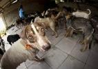 Ex-prefeito é condenado a 20 anos de prisão por chacina de 400 cães no Pará - Tarso Sarraf / Folhapress