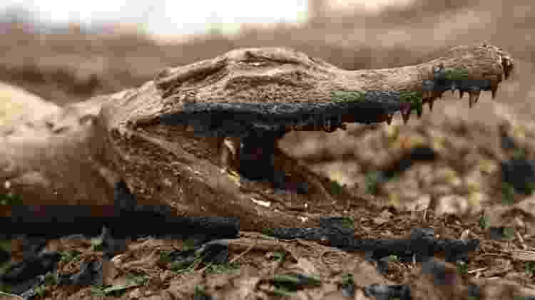 A fauna local, como esse jacaré, tem sofrido profundamente com os incêndios no Pantanal - Reuters - Reuters