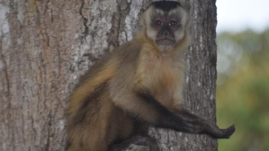 """Macaco com a pata estendida; primatas aprenderam a """"pedir comida"""" aos humanos em meio à situação adversa no Pantanal, dizem ONGs - Fundação Ecotrópica"""