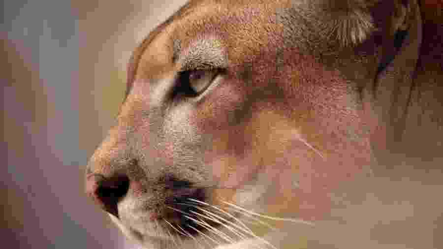 A onça-parda da Caatinga é uma das espécies da região que está ameaçada de extinção - Roland Brack/Getty Images
