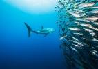 Leões, chimpanzés e tubarões ganham proteção adicional da ONU - Jennifer Hayes/National Geographic Creative