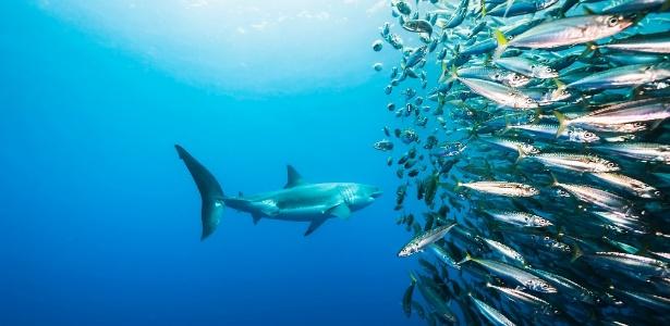 11.abr.2016 - Um tubarão branco ataca um cardume de pescada