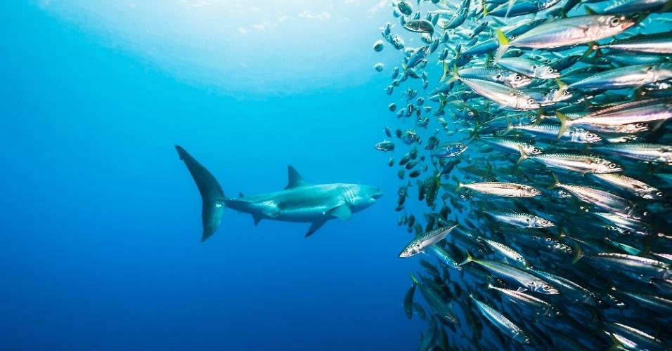 11.abr.2016 - Um tubarão branco ataca um cardume de pescada. Os tubarões são mais propensos a atacar peixes pequenos e arraias do que humanos, apesar das representações de Hollywood