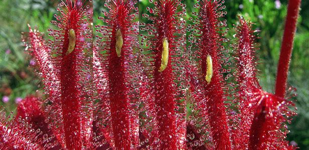 Larvas se movem na drosera, em imagem feita em Minas Gerais