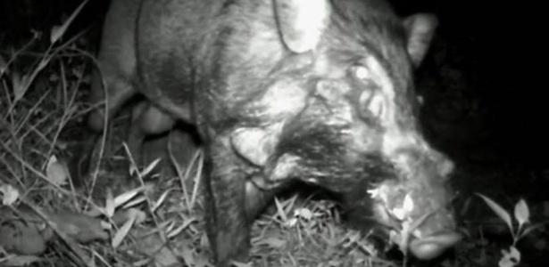 Peludos e com verruga na face, os suínos foram filmados em Java, na Indonésia - Chester Zoo