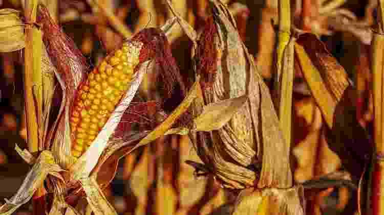 Milho planta plantação milharal - Couleur/ Pixabay - Couleur/ Pixabay
