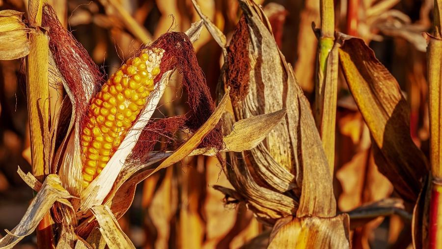 Segundo a ABPA, devido aos altos preços do milho, principal matéria-prima da alimentação animal, a indústria de carnes procura alternativas, incluindo o trigo para compor a dieta de frangos e suínos - Couleur/ Pixabay