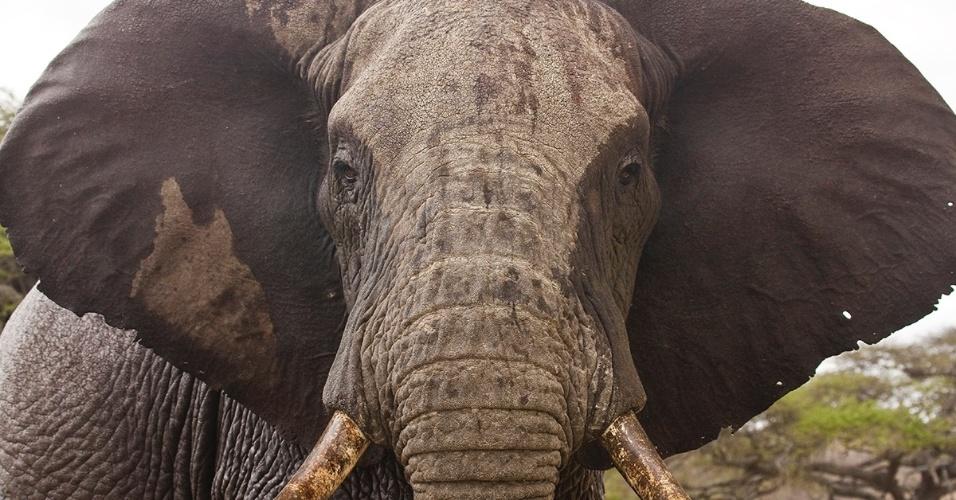 Um elefante-africano passeia no Quênia. Os elefantes tem uma audição apurada e podem ouvir o chamado de outros da mesma espécie a mais de 3 km