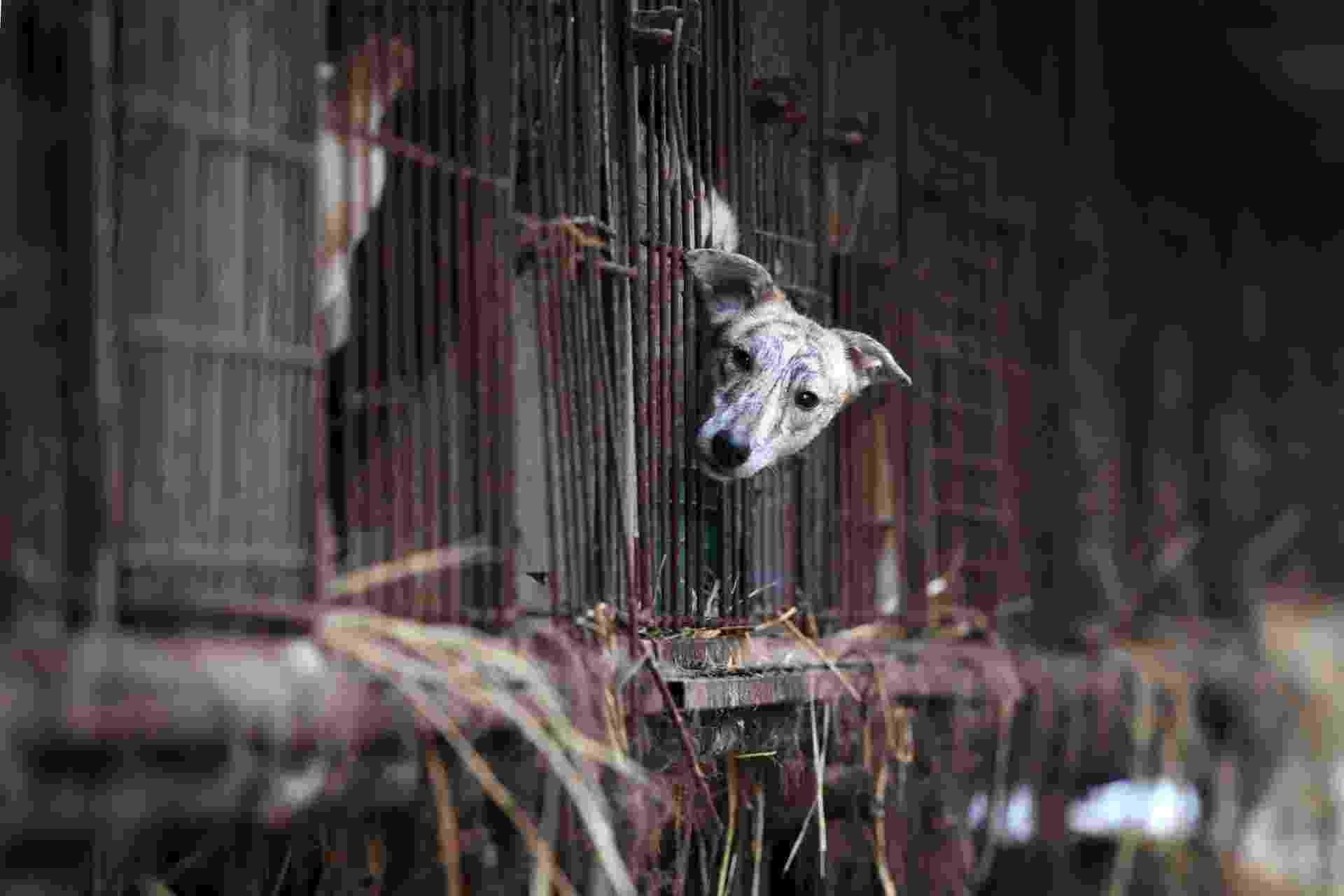 Cães latem quando seus salvadores os tiram das jaulas de uma granja na Coreia do Sul para enviá-los para famílias temporárias ocidentais e assim evitar que acabem em um prato de comida. Ser produtor de carne canina está com as horas contadas no país. - JUNG YEON-JE/AFP