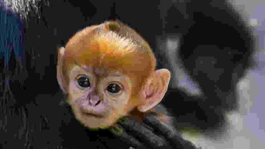 02.out.2019 - Langur-de-françois nasceu no zoológico Taronga de Sydney na semana passada - AFP/Rick Stevens/Taronga Zoo
