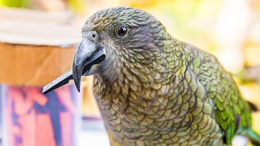 Papagaio da espécie Nestor notabilis - Amalia Bastos/Universidade de Auckland