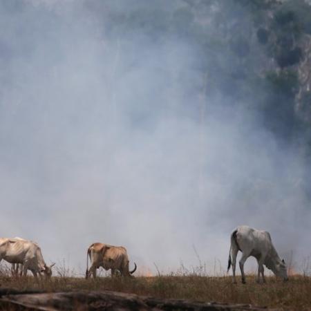 Gado em área queimada da Amazônia -