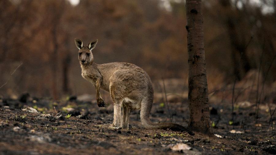 Quase três bilhões de animais da Austrália foram mortos ou deslocados durante incêndios florestais - TRACEY NEARMY