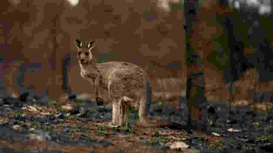 Canguru machucado em área queimada por incêndio florestal na Austrália - TRACEY NEARMY