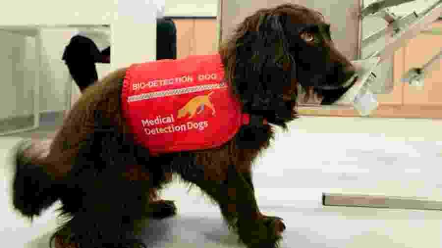 Cães já foram usados para detectar câncer de próstata, diabetes e doença de Parkinson - MEDICAL DETECTION DOGS/Divulgação