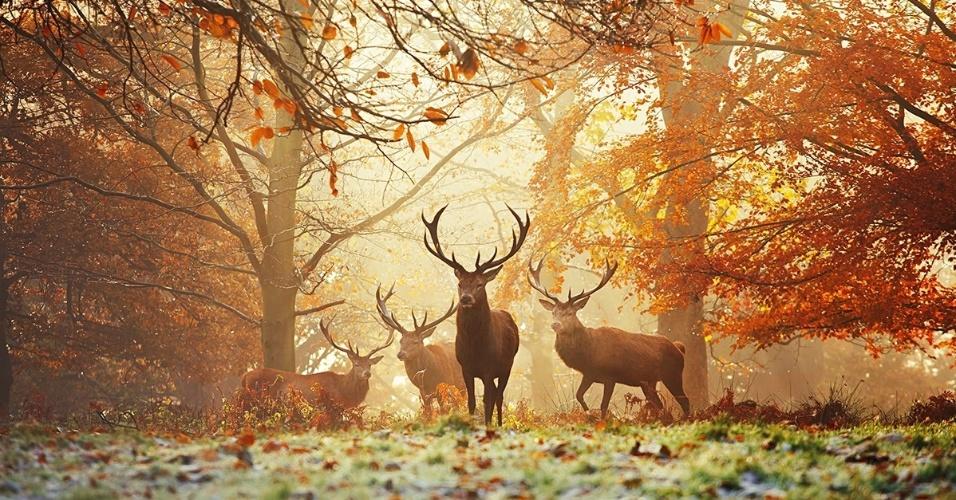 Veados-vermelhos no Richmond Park, em Londres. O parque foi criado em 1625, quando o rei Charles 1º transformou uma área selvagem perto de seu palácio em Londres numa reserva para os animais. Atualmente, é o maior dos oito parques reais da cidade