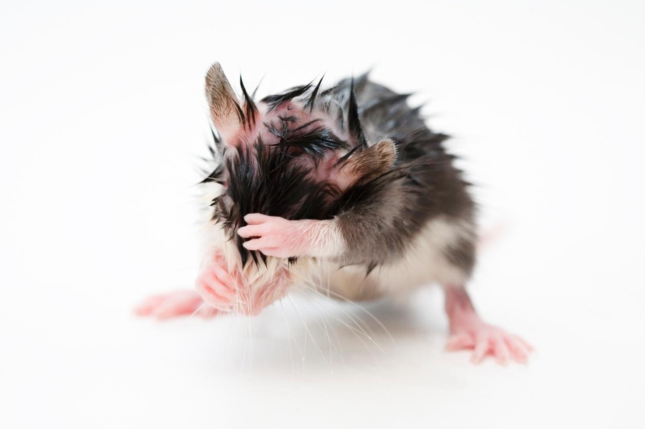 Rato; camundongo; fofo; pesquisa; ciência; animais