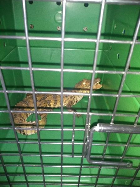 Jacaré do papo amarelo foi encontrado na Rodovia Dutra, em Caçapava (SP) - Divulgação/CCR Nova Dutra