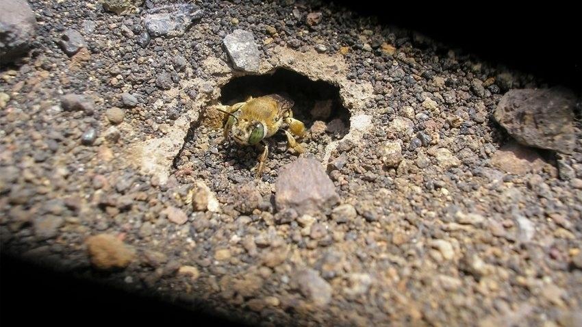 """2.ago.2016 - As terras do vulcão Masaya, na Nicarágua, são conhecidas como zona morta, por serem afetadas pelo magma e pela fumaça. Os cientistas acreditavam que as condições nocivas acabariam com qualquer vestígio de vida, mas encontraram sobreviventes, uma espécie de pequenas abelhas, a """"Anthophora squammulosa"""". Uma população de 2 mil abelhas vive entre as cinzas vulcânicas e suporta as altas temperaturas e até chuvas ácidas causadas pelos gases do vulcão"""