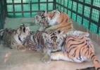 Filhotes órfãos de tigre