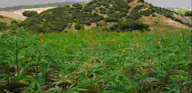 12.abr.2017 - Atualmente, Itália possui cerca de 3 mil hectares cultivados com cannabis - South Hemp Tecno/Divulgação - South Hemp Tecno/Divulgação