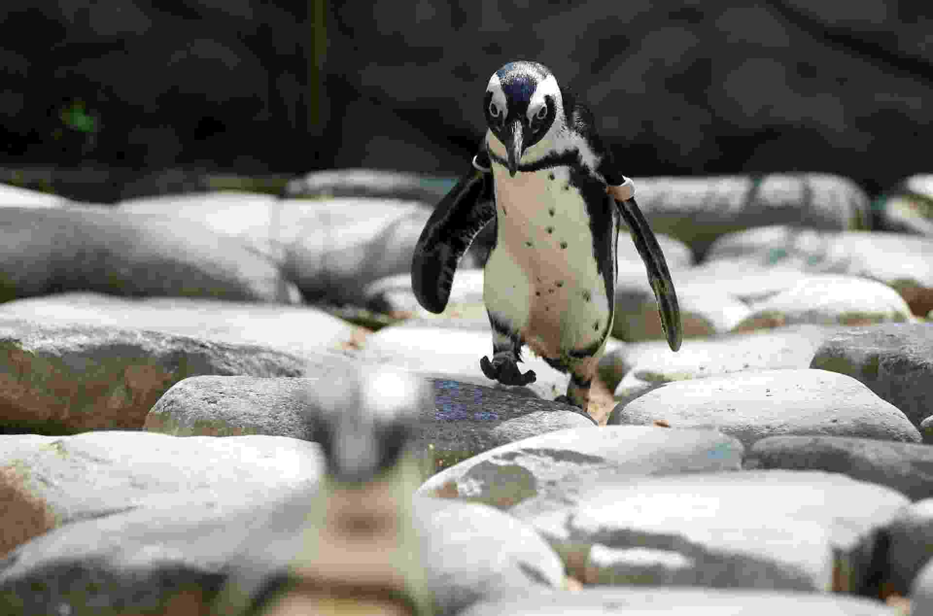 ANDAR DESENGONÇADO - Não se sabe ao certo por que os pinguins possuem andar desengonçado. Eles andam equelibrando o peso nos pés direito e esquerdo. Segundo cientistas, os ancestrais dos pinguins andavam de forma mais elegante. Mas, à medida que as aves começaram a se movimentar mais na água, perderam as habilidades em terra. Existem registros fósseis de pinguins gigantes que viveram há 37 milhões de anos. Ossadas encontradas na Antártida indicam que esses mega-pinguins podiam alcançar a altura de 2 metros e pesar até 115 kg - David Mdzinarishvili/Reuters