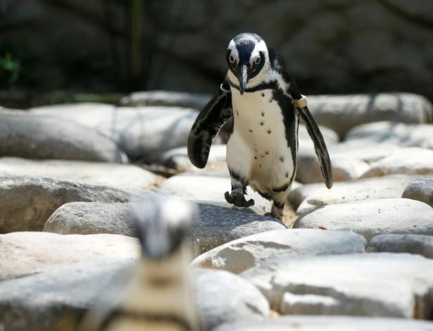 ANDAR DESENGONÇADO - Não se sabe ao certo por que os pinguins possuem andar desengonçado. Eles andam equelibrando o peso nos pés direito e esquerdo. Segundo cientistas, os ancestrais dos pinguins andavam de forma mais elegante. Mas, à medida que as aves começaram a se movimentar mais na água, perderam as habilidades em terra. Existem registros fósseis de pinguins gigantes que viveram há 37 milhões de anos. Ossadas encontradas na Antártida indicam que esses mega-pinguins podiam alcançar a altura de 2 metros e pesar até 115 kg