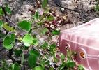 CPRH realiza a soltura de quase 300 crustáceos no mangue de Itamaracá - Foto: CPRH