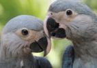 Araras de espécie extinta na natureza nascem em cativeiro na Bahia